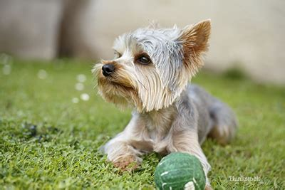 liver disease in yorkies liver shunt in dogs