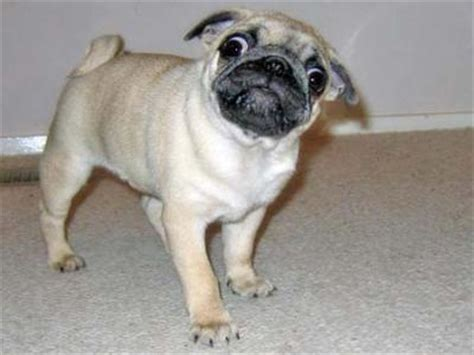 pugs for sale vic pug puppies for sale canada free classifieds muamat
