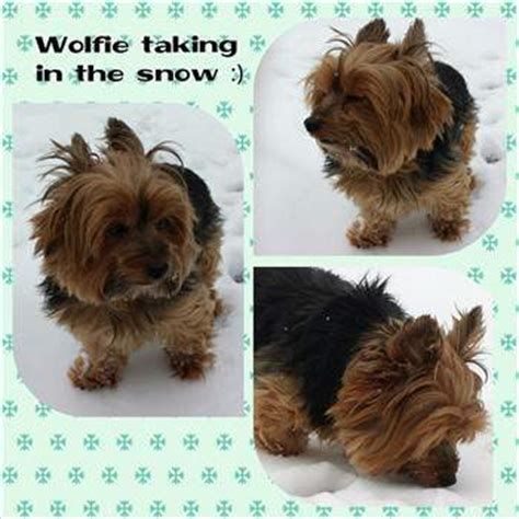 yorkies in the snow winter care for a terrier