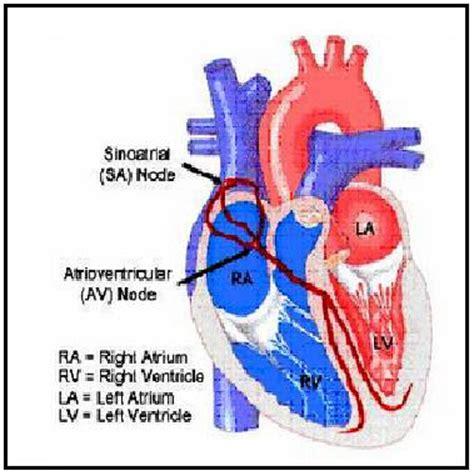Lu Jantung detail jantung manusia berita biologi