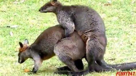 apareamiento animales canguro de apareamiento animals pinterest animal