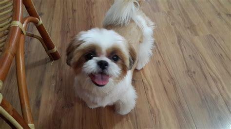 petfinder puppies shih tzu adopted 6 years 9 months bobo from puchong selangor petfinder my