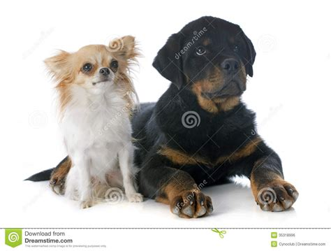 rottweiler chihuahua puppies puppy rottweiler and chihuahua royalty free stock image image 35318996