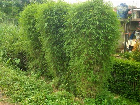 jual pohon bambu kuning bambu kuning panda bambu