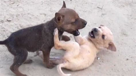 two puppies fighting of two puppies 720p hd