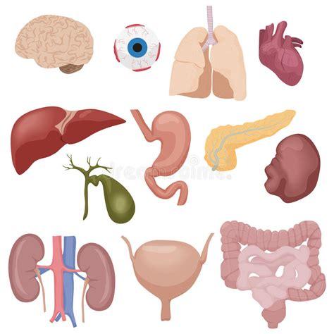 corpo umano interno organi di parti interni corpo umano messi isolati