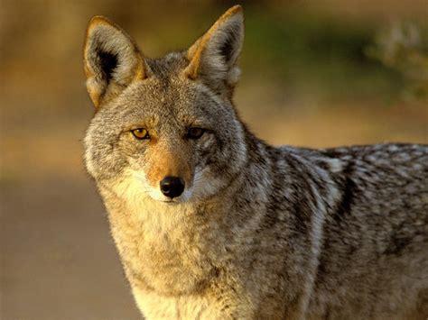 Coyote | Wildlife Info-Photos | The Wildlife