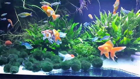 aquarium design group goldfish the beautiful planted 145 gallon fancy goldfish rainbow