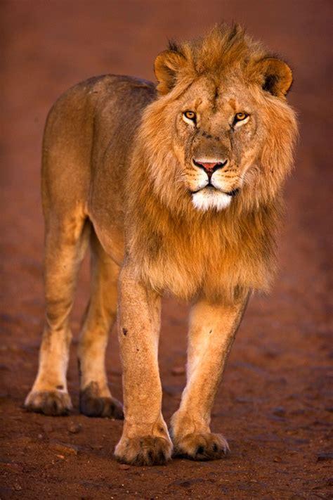 imagenes de leones en movimiento imagenes de leones