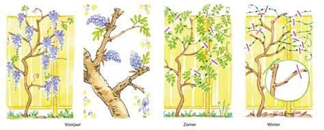blauwe regen uitlopen klimplanten de tuinen van appeltern