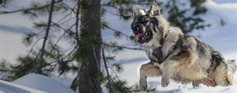 american alsatian dog breed facts  information wag