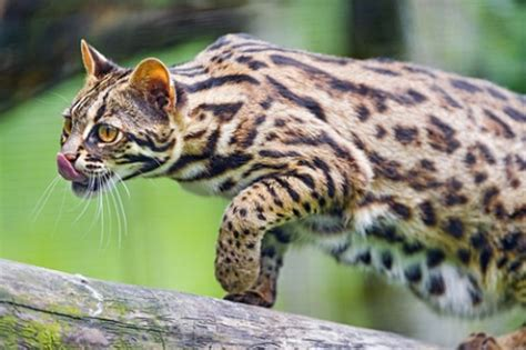 leopard house cat farmers in china domesticated asian leopard cats 5 000 years ago ancient origins