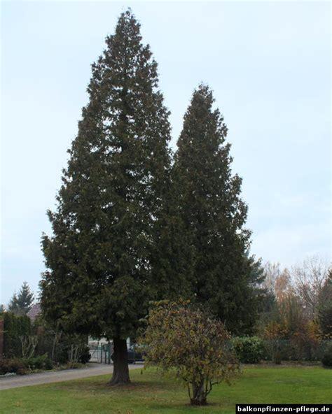 hecke schneiden wann verboten lebensbaum schneiden fabulous ein mann schneidet seine