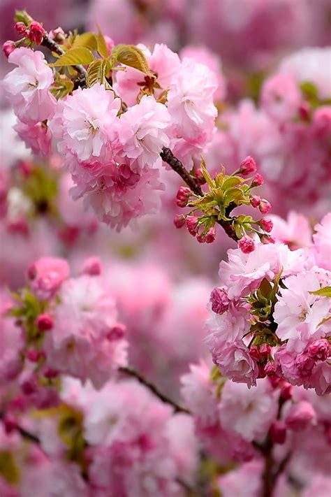 tai hinh ve tải h 236 nh ảnh hoa đẹp về điện thoại