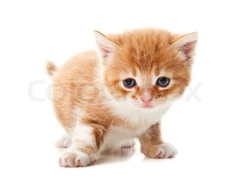 Ginger kitten   Stock Photo   Colourbox
