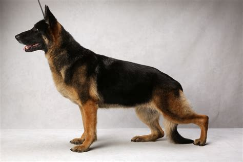 german shepherd show best of breed results from westminster breeds picture