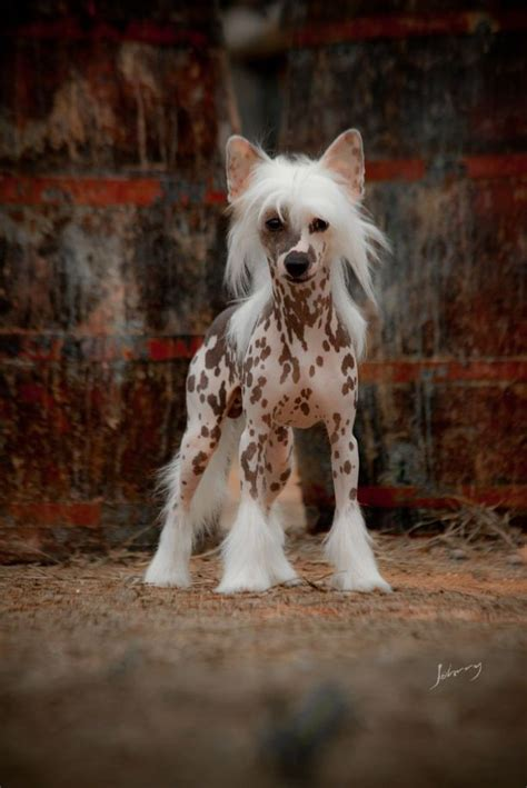 crescent dogs 133 best crested images on crested puppies and