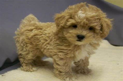 poodle shih tzu top 20 most cutest poodle mix breeds that you need to