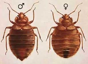 male and female bed bugs bed bugs pictures actual size stages and skin bites