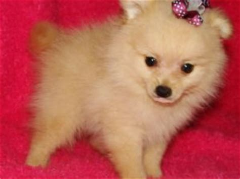 how to raise a pomeranian puppy pomeranian puppies for sale