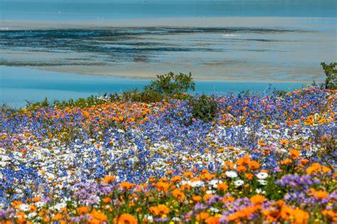 fiori della primavera foto namaqualand in fiore il miracolo della primavera