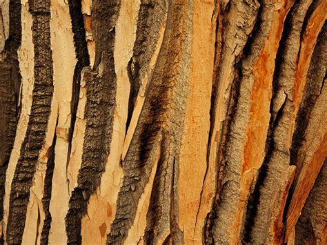 patterns in nature facts cottonwood tree bark