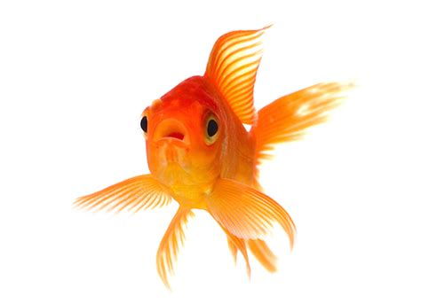 Stelan Gold Fish Kid facts about goldfish petmd