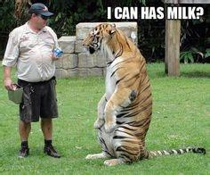 Big Milk Meme - 1000 images about tigers on pinterest memes siberian