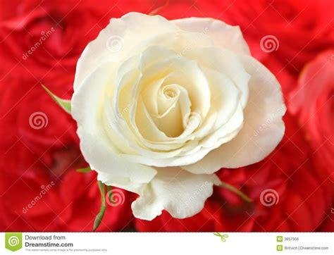imagenes rosas rojas blancas rosas blancas foto de archivo imagen de aniversario