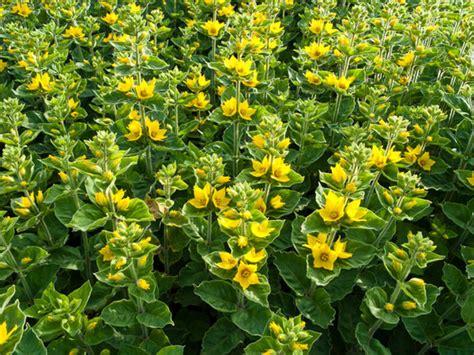 Yellow Garden Flowers Lysimachia Punctata Yellow Loosestrife