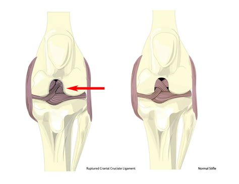 cruciate ligament tear in dogs cranial cruciate ligament ccl tears in dogs treating the injury