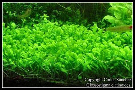 Jual Corydoras Sterbay Hiasan Aquascape aquariaforum be onderwerp m n 1ste echte aquarium