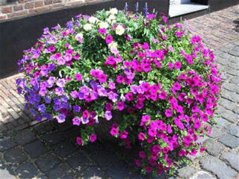 how to grow petunias from seeds