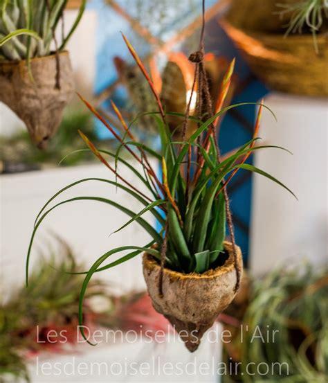 Les Filles De L Air Plantes by Vente Tillandsia