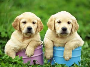 sweet puppy sweet puppy 2013 dogs wallpaper
