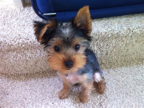 12 week yorkie home behavioural visit with molly the terrier puppy blogblog