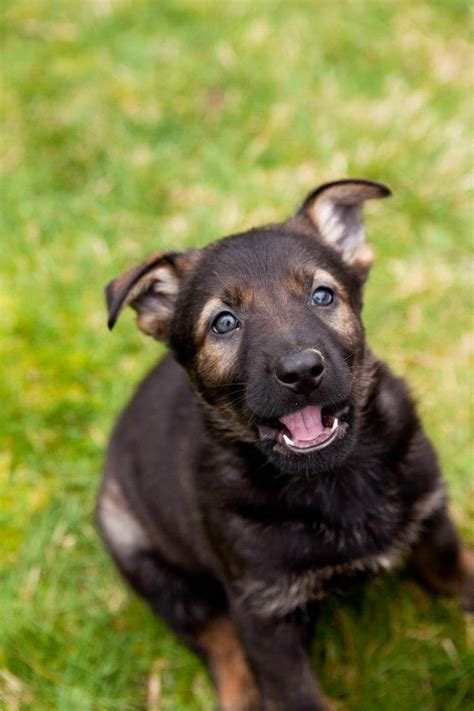 german shepherd puppies washington german shepherd puppies in washington vom banach k9
