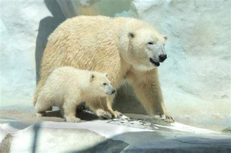 Two Polar Bears In A Bathtub by Utah S Hogle Zoo To Welcome Two New Polar Bears The Salt