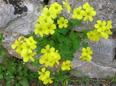 fiore trifoglio fiori di trifoglio foto immagini piante fiori e funghi