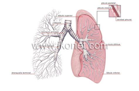 imagenes del sistema respiratorio ingles ser humano gt anatom 237 a gt aparato respiratorio gt pulmones