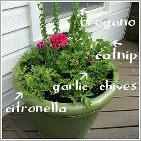 natural potted mosquito repellant plants garden pinterest