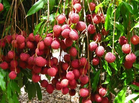 Pupuk Bunga Jeruk tanaman buah untuk dataran rendah