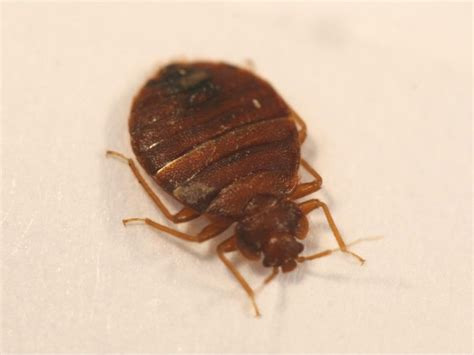 chicago bed bugs chicago named worst city for bed bugs evanston il patch