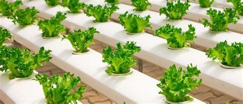 coltivazione idroponica in casa coltivare le piante con la tecnica idroponica greenious