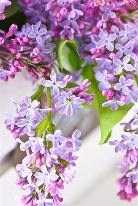 pretty in pink and purple on pinterest lilacs 969 best mauve purple violet images on pinterest