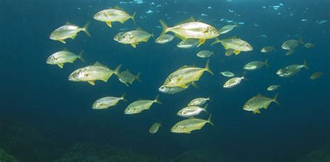 charter boat fishing gulf shores alabama amberjack fishing in gulf shores meyer vacation rentals