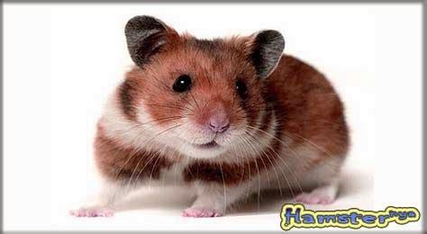 hamster syrian roborovsky campbell hybrid winter white segitu petshop
