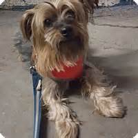 yorkie adoption ny bronx ny yorkie terrier meet nugget a for adoption