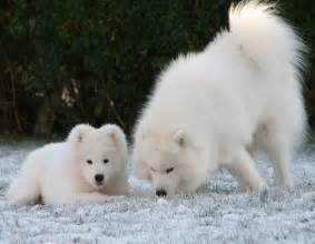 Cute samoyed puppies small sweet puppies