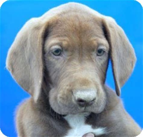 basset hound puppies wi bacardi adopted puppy phillips wi weimaraner basset hound mix